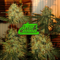 True Canna Genetics The Truth Regular