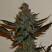 Connoisseur Genetics Seeds Girl Scout Haze Cookies Feminised