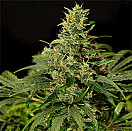 Rokerij Seeds Rokerij Bubbles Feminized
