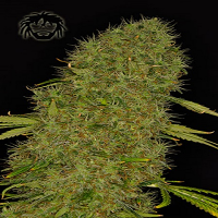 Dready Seeds White Jack Feminized