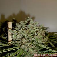 Green Label Seeds Big Jack Feminised