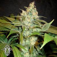 Holy Smoke Seeds Sour Blackberry Diesel Regular