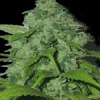 Sagarmatha Seeds Peak 19 Regular