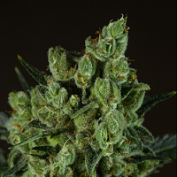 710 Genetics Seeds Old White Widow Feminised