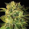 World of Seeds Sugar Mango Ryder Auto Feminized