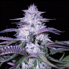 MTG Seeds Godfather Kush Regular