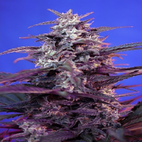 Sweet Seeds Bloody Skunk Auto Feminised