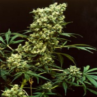 Magus Genetics Seeds Warlock Feminized