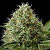Dinafem Seeds Dinamex Feminised (PICK N MIX)