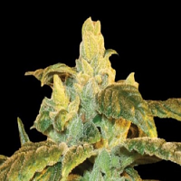Ken Estes Grand Daddy Purple Seeds Ken's Kush Regular