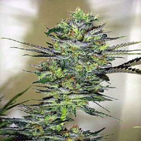 Magus Genetics Seeds Exile Regular