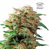 Dutch Passion Seeds Mazar Feminized