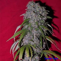 Female Seeds Neville's Haze Feminized