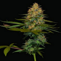 DNA Genetics Seeds Exodus Kush Feminized
