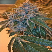 Reserva Privada Seeds Kosher Kush Feminized