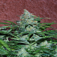 World of Seeds Amnesia Auto Feminized