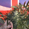 Feminised Seeds British Outdoor Mix Feminized