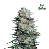 FastBuds Seeds Mexican Airlines Auto Feminized