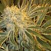 Sagarmatha Seeds OGNL Feminized