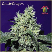 Paradise Seeds Dutch Dragon Feminized
