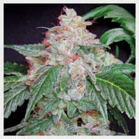 Hortilab Seeds StarKush Regular