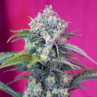 Sweet Seeds Cream Mandarine Auto Feminized