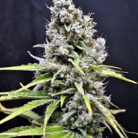 CBD Crew Seeds CBD Skunk Haze Feminized