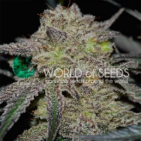 World of Seeds Tonic Ryder Auto Feminized
