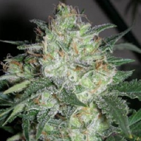 Cali Connection Seeds OGiesel Regular