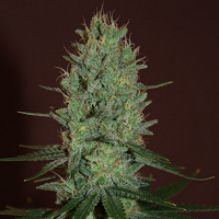 Expert Seeds Amnesia Haze Feminised