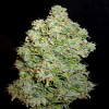 Secret Garden Seeds Secret Citrus Auto Regular