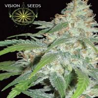 Vision Seeds Amnesia Feminized
