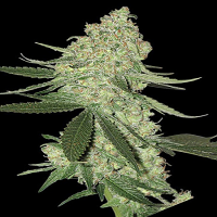 Big Head Seeds Big Stilton Auto Feminized