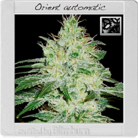 BlimBurn Seeds Orient Automatic Feminized