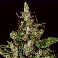 CBD Seeds Auto Widow Feminised