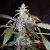 Secret Garden Seeds Naranja Diesel F1 Auto Feminized