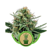 Royal Queen Seeds Jack Herer Automatic Feminized