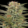 Dinafem Seeds Original Amnesia Feminized (PICK N MIX)