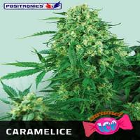 Positronics Seeds Caramel Ice Feminized