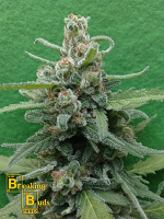 Breaking Buds Seeds Soylent Green Auto Feminized (PICK N MIX)