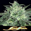 Samsara Seeds Spicy White Devil Feminized