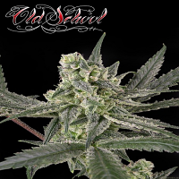 Ripper Seeds Old School Feminised