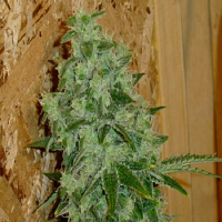 Hazeman Seeds Lemon Stomper Regular