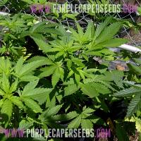 Purple Caper Seeds White Grapes Regular