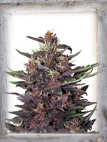 Garden of Green Seeds Violet Kush Auto Feminized