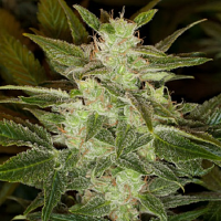 Black Skull Seeds Auto Speed Haze Feminized