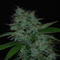Cream of The Crop Seeds Narcotherapy Auto Feminized (PICK N MIX)