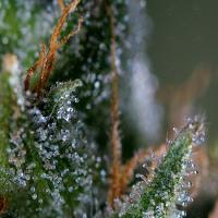 Genofarm Seeds Medicritical Feminized