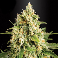 Kera Seeds Skunk Feminised