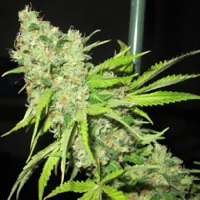 Ultra Genetics Seeds TEC 9 Regular